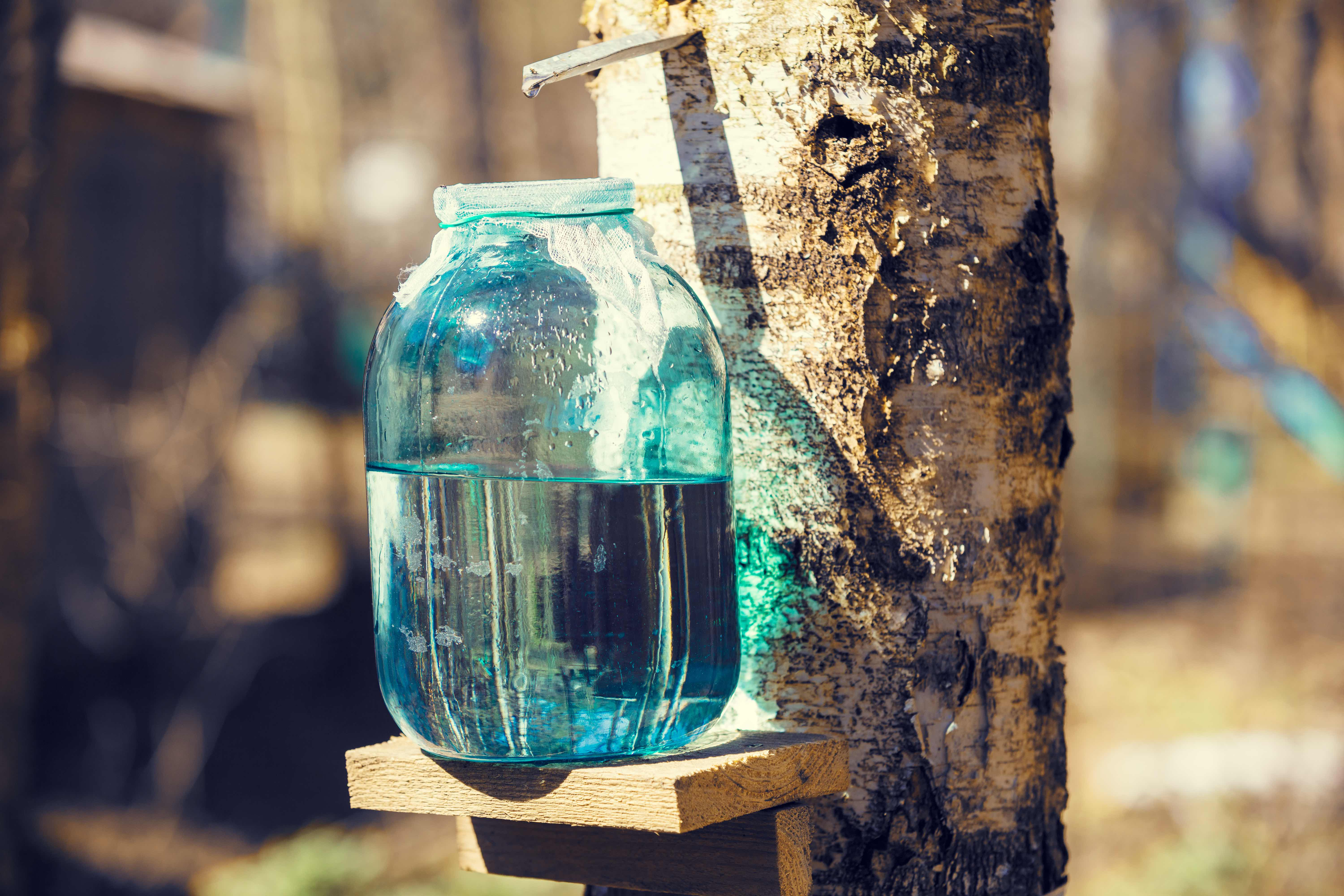 Production of birch sap in a glass jar in the forest.