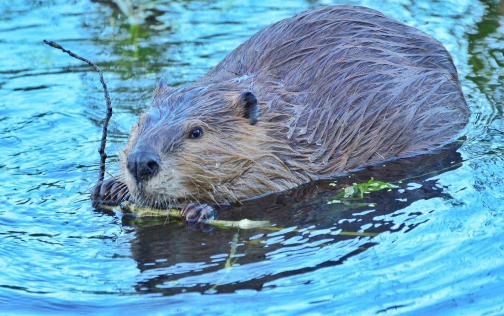 Wild beaver in Wyoming