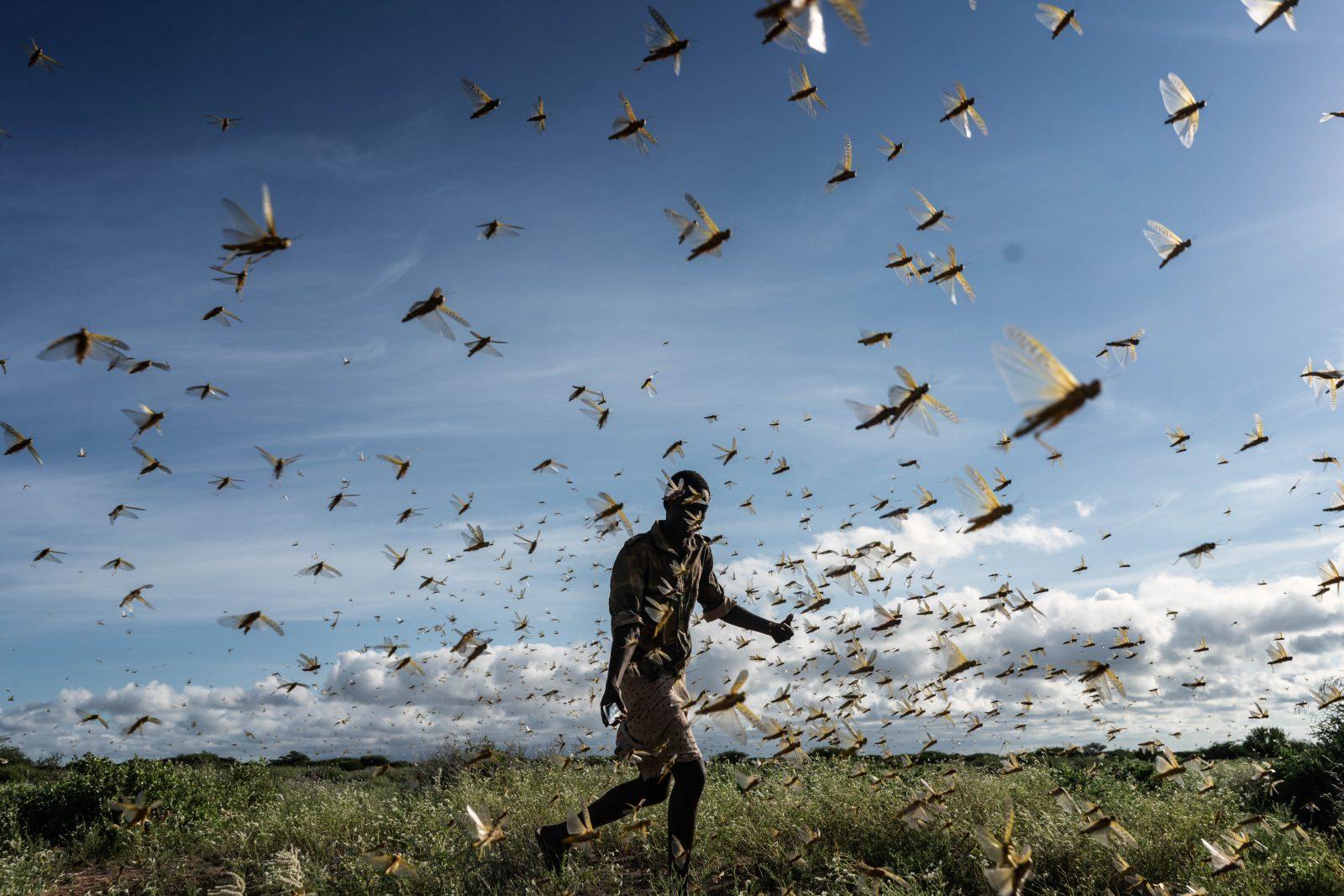 Locust swarms in Kenya