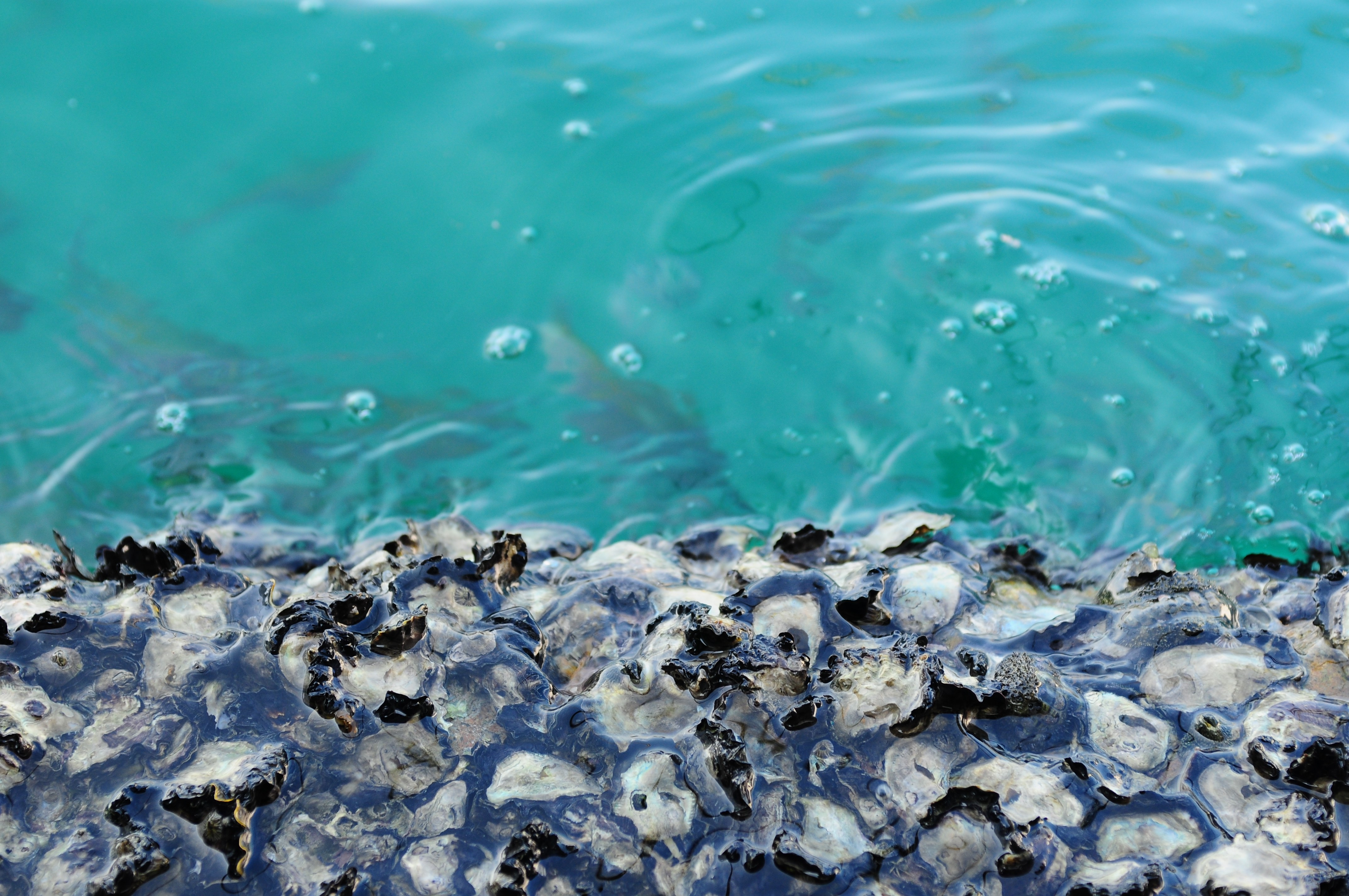 Oyster shells in the ocean