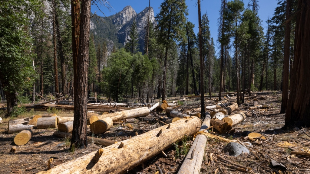 Photo showing cut trees in Yosemite Valley, California