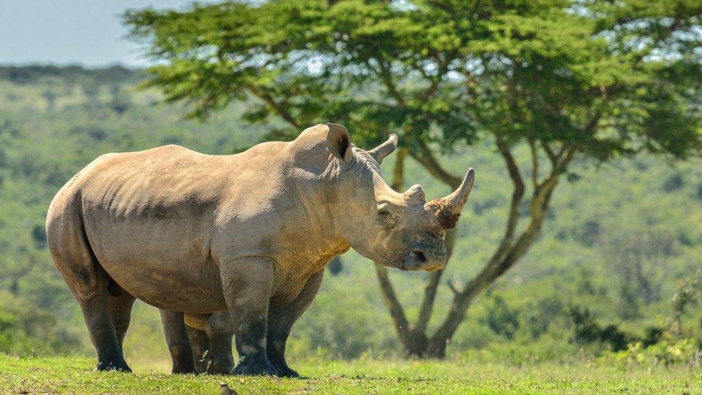 A white rhino stands in a field