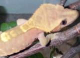 elvis the lizard