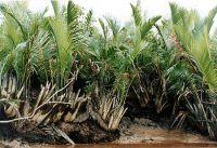 nipah palms