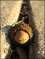Between hard places, but this acorn must grow
