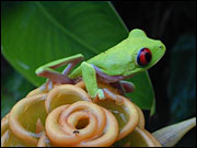 Costa Rican red-eyed tree frog. Photo: obooble via flickr