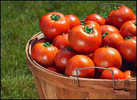 bushell of tomatoes