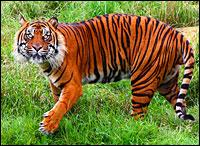 Image (1) sumatran-tiger_h200.jpg for post 22288