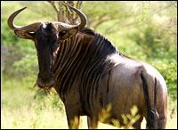 Wildebeest. Photo: Mister-E via Flickr