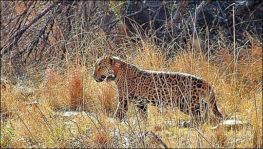 jaguar Macho B