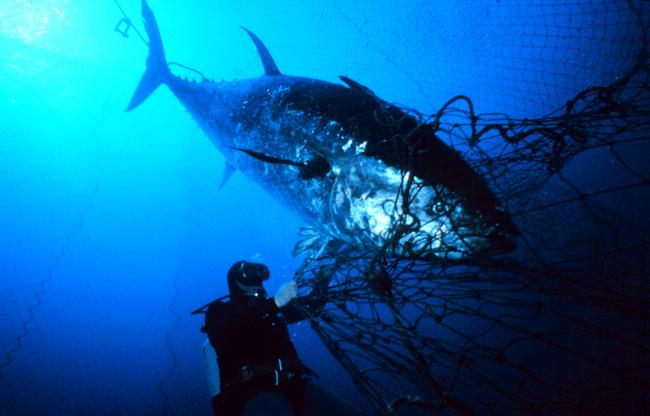 Tuna in net