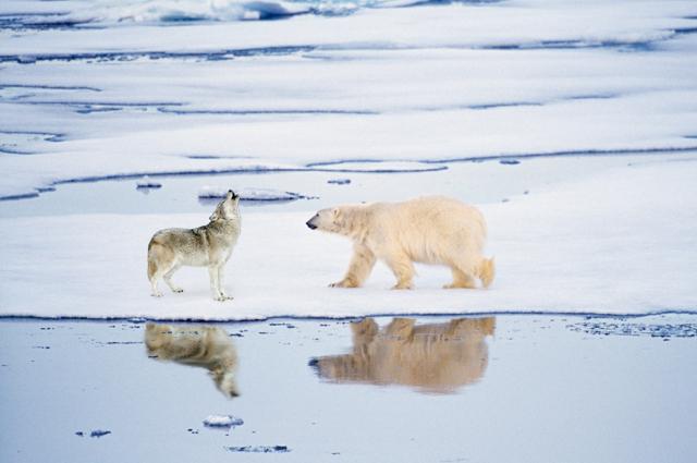 wolf and polar bear
