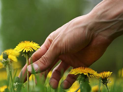 dandelion picker