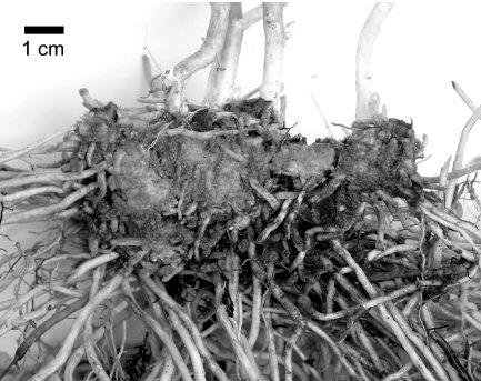 swallowwort roots