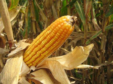 ear o corn