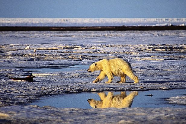 Polar bear on Barnard Harbor