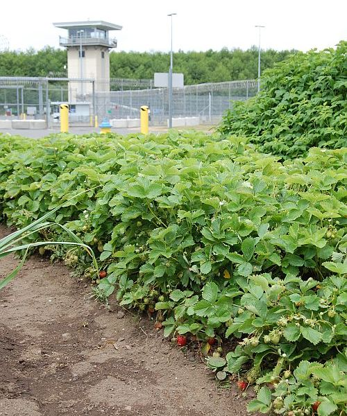 strawberries growing at Stafford Creek Corrections Center