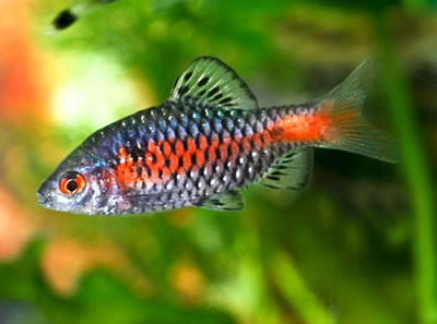 Odessa barb fish from the Greater Mekong