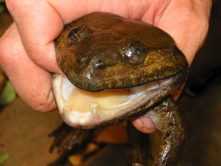 Frog with fangs in Greater Mekong