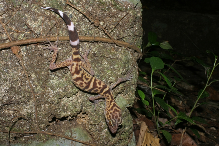 Leopard gecko found in the Greater Mekong