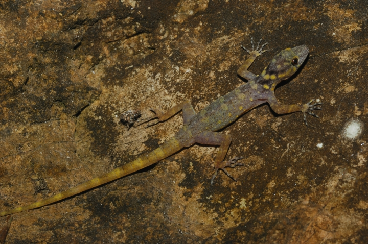 A technicolor gecko found in the Greater Mekong