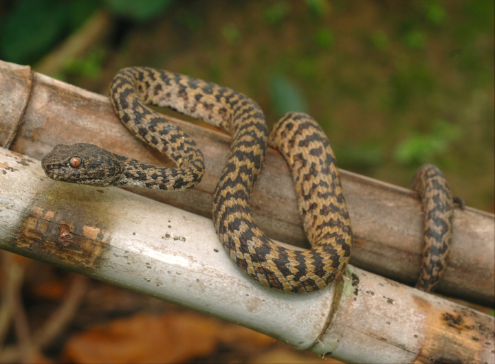 Pitviper discovered in the Greater Mekong