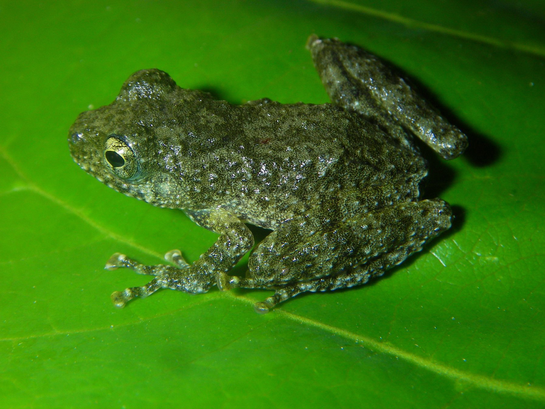 Tree frog discovered in the Greater Mekong