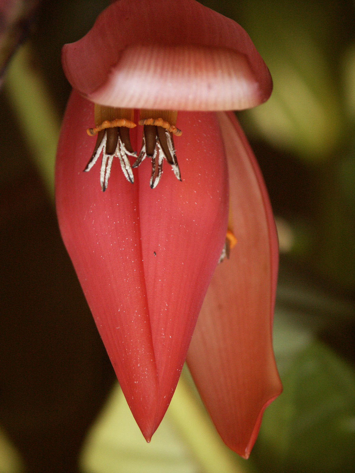 Wild banana flower found by WWF in the Greater Mekong