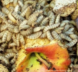 For some composters, black soldier larvae have a peel.