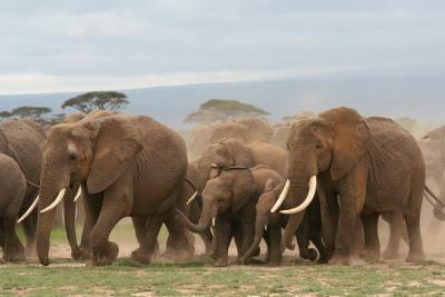 Elephant stampede.