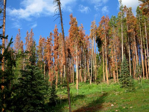 Dead lodgepole pines in Colorado.