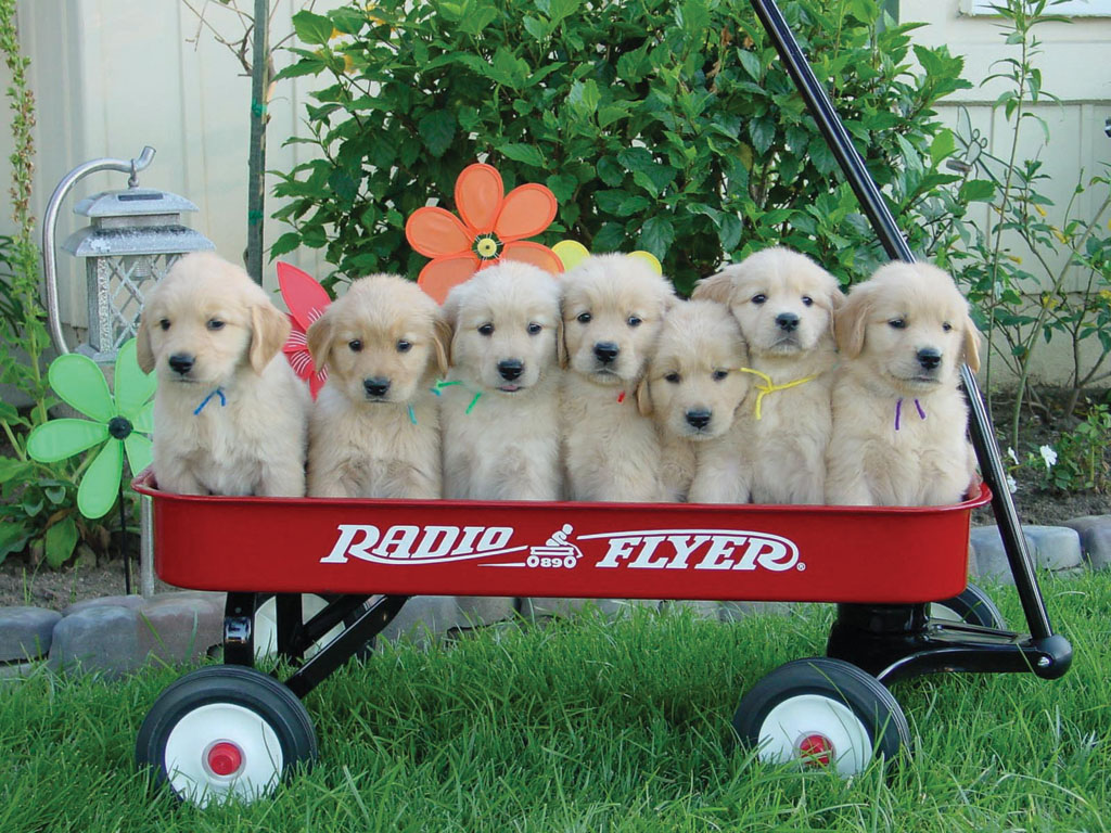 seven puppies in a Radio Flyer wagon