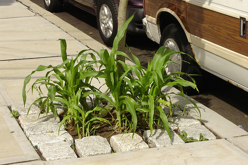 Curbside corn.