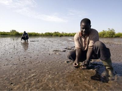 planting mangroves in senegal