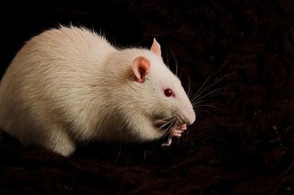white_rat.jpg