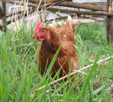 Free rangin' chicken