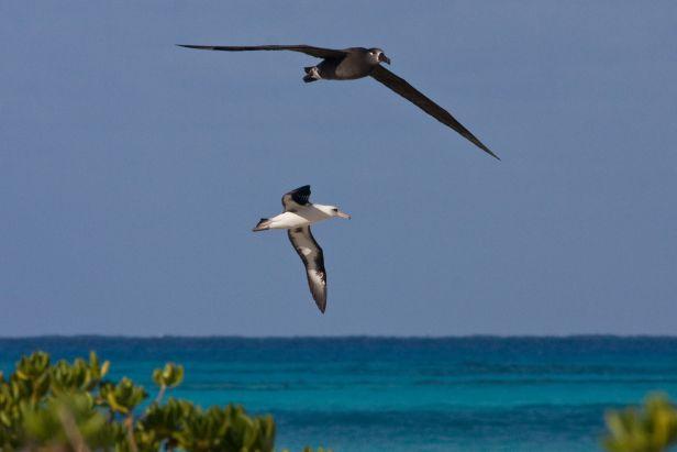 Black Footed Albatross.
