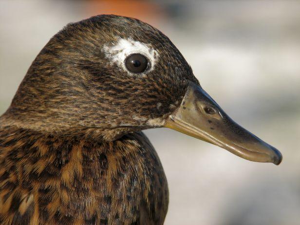Laysan Duck.