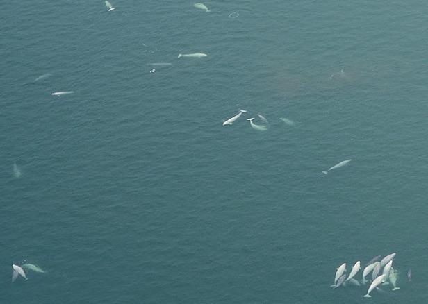 Beluga whales swimming.