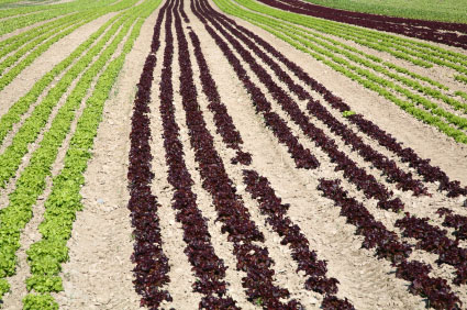 Fields of lettuce