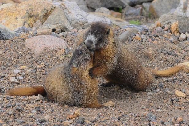 horny marmots