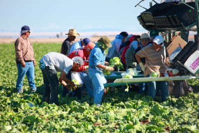 Migrant workers picking lettuce