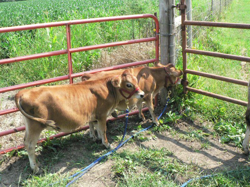 mini cattle