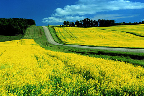 Canola fields and road
