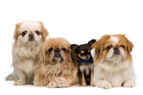 Three Pekingese and one chihuahua