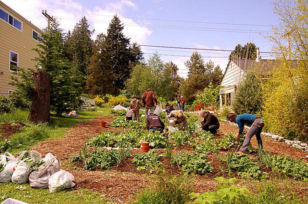 Alleycat volunteers harvest
