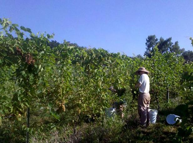 Nebraska grape picking