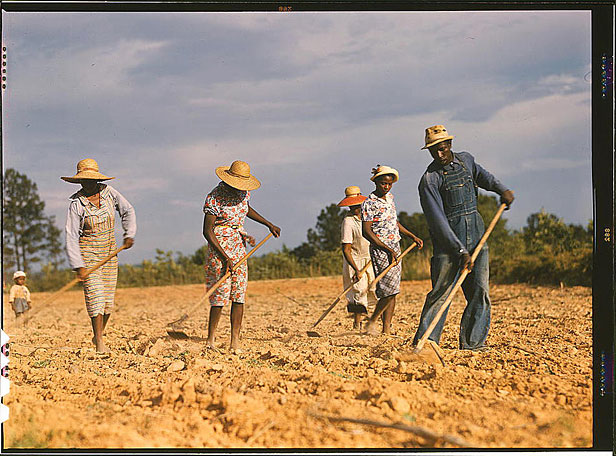 Chopping cotton in the 1940s