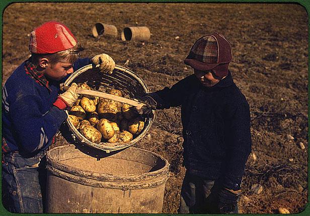 Boys picking potatoes