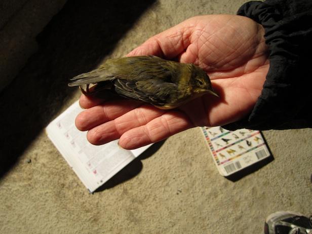 A dead Warbler.